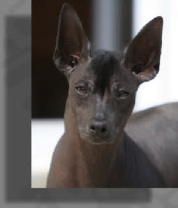 Peruvian hairless dog | Badu